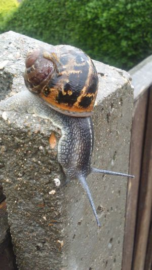 Snail Apex Tentacles Bushes Green Leaves Snail Collection Nature Nature_collection Leaves Nature Photography Nature On Your Doorstep Slimy Slimy Snails Swirl Swirly Snail Shell Shell Snails Concrete Post Going Down Gastropoda Macro Snail Macro Mollusca
