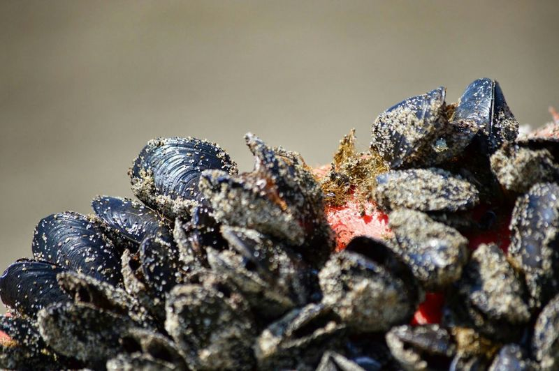 Large Group Of Sea Mussels Close-Up