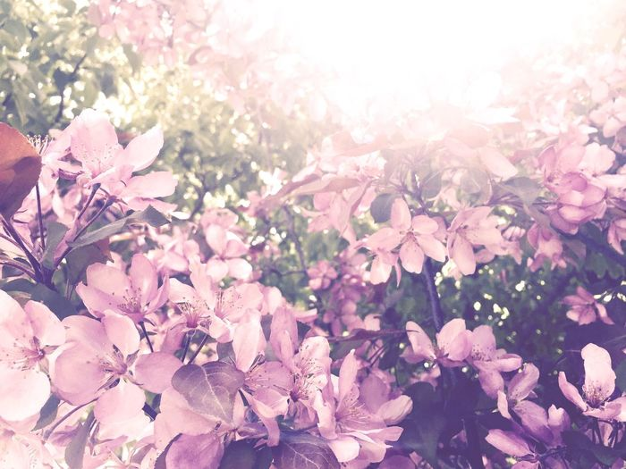 Flower Pink Color Nature Beauty In Nature Blossom Petal Springtime Freshness Lens Flare Fragility Sunlight Plant Tree Outdoors No People Backgrounds Close-up Growth Flower Head Day
