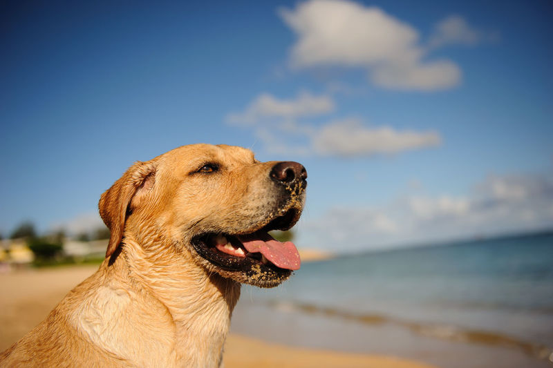 Yellow Labrador Retriever dog portrait on beach with blue sky and clouds Beach Dog Hawaii Yellow Lab Yellow Labrador Retriever Canine One Animal Sky Pets Domestic Animals Sea Domestic Water Animal Themes Animal Looking No People Animal Head  Mouth Open Cloud - Sky