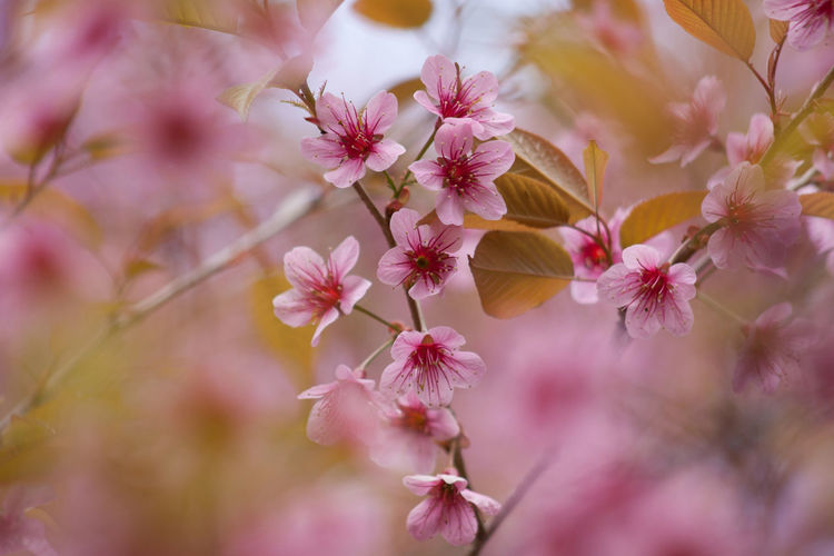 Close-up of pink cherry blossoms