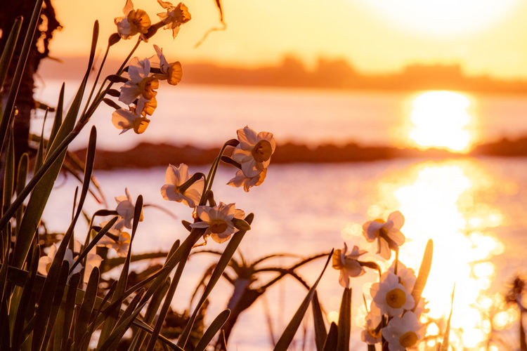 Close-up of wilted plant by lake against sky during sunset