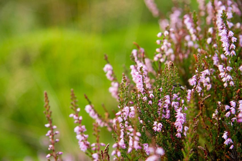 Heather Flower Nature Beauty In Nature Plant Hillside Flora Pink Flower Pink Summertime