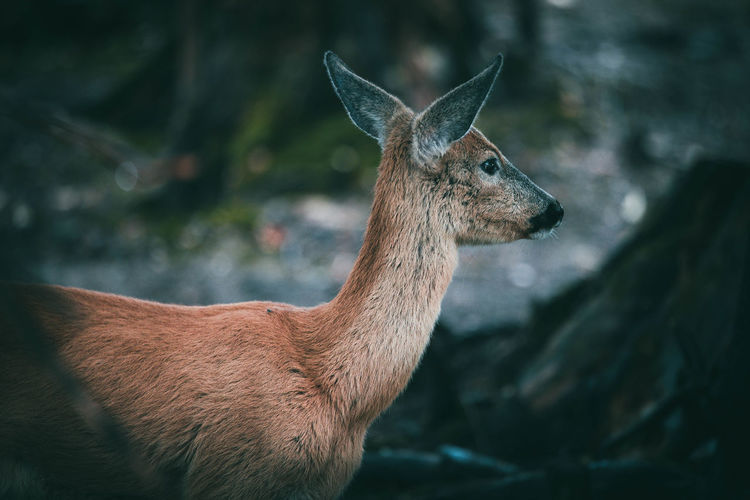 Deer Livestock Nature Animal Animal Head  Animal Themes Animal Wildlife Animals In The Wild Brown Close-up Day Deer Domestic Animals Fawn Focus On Foreground Herbivorous Land Mammal Mammals Nature No People One Animal Standing Vertebrate Zoology