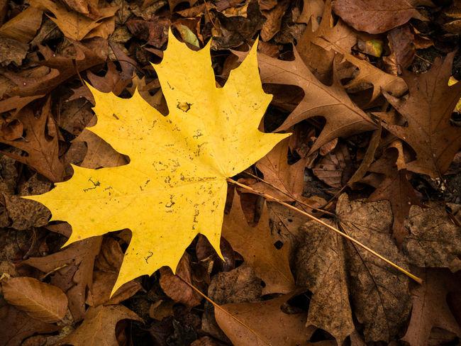 Ahorn Herbstblatt Herbststimmung Braun Gelb Hintergrund Herbstblatt Herbststimmung Blätter Blatt Autumn Autumn Leafs Blatt