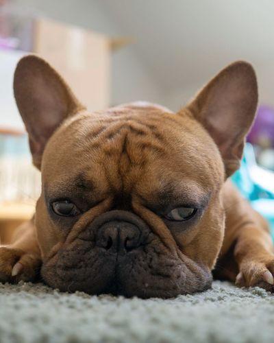 Französische Bulldogge  Hundefotografie Tierfotografie Dogs Of EyeEm Hundeportrait EyEmselect Düsseldorf Hunde Butsosexy Dogs Dogs Life EyeEm Selects Pets Portrait Dog Looking At Camera Lying Down Bulldog Close-up