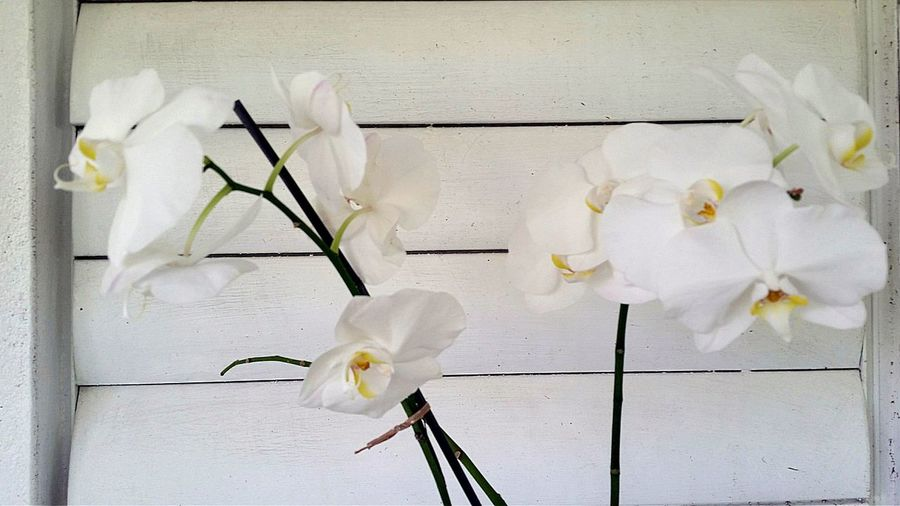 Orchids No