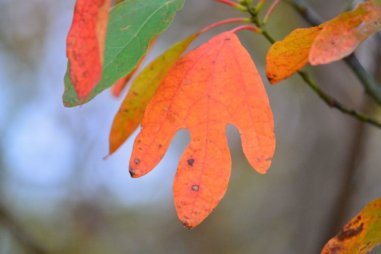 Sassafras leaf in all it's splendor. Orange Color Leaf Focus On Foreground Close-up Fruit Nature Growth Day No People Outdoors Beauty In Nature Autumn Freshness Tree Food Sassafras Fall Leaf Color Red Leaf Woods Trail Fall Beauty