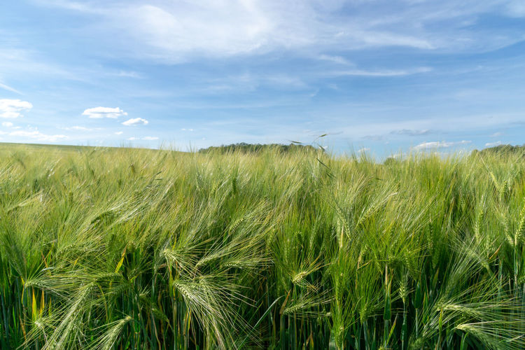 grain, wheat or corn field, agricultural field with immature grain, blue sky Blue Sky Sky Growth Land Field Plant Cereal Plant Crop  Green Color Rural Scene Beauty In Nature Cloud - Sky Scenics - Nature Nature Tranquility Agriculture Landscape Plantation Day No People Environment Tranquil Scene Farm Outdoors Stalk