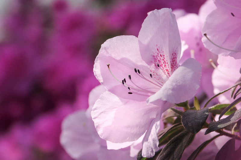 Flowering Plant Flower Fragility Azaleas In Bloom Azalea Vulnerability  Growth Beauty In Nature Plant Petal Freshness Flower Head Close-up Inflorescence Pink Color Nature Pollen Blossom Focus On Foreground No People Springtime Purple Pollination