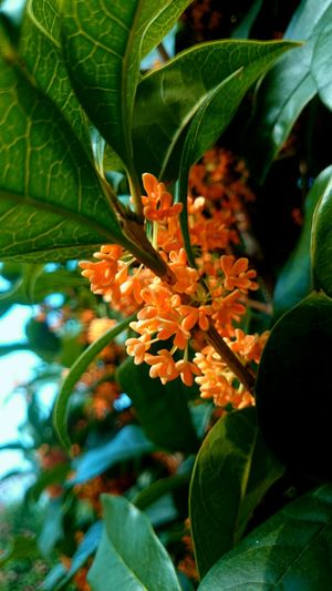 fragrant orange colored olive キンモクセイ sweet fragrancy small flowers . have strong aroma . i love it . Autumn Flowes Sweet Aroma EyeEm Nature Lover In The Garden