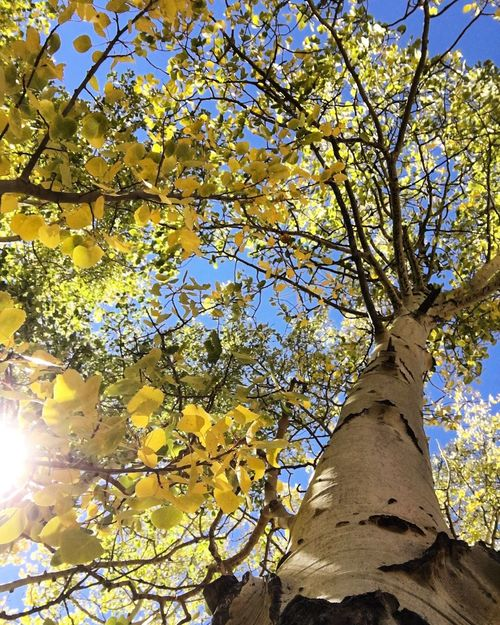 Tree Branch Low Angle View Yellow Flower Freshness Growth Nature Fragility Beauty In Nature Day Outdoors Vibrant Color Sky Blossom Rural Scene Agriculture Majestic Yellow Color Colors Colorado Aspen Cripple Creek