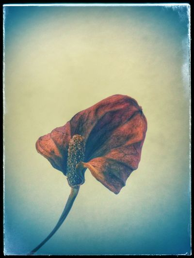 This photo os a dried flower taken and edit with LG G3 camera phone. An awesome Flower LGG3 PaintingStyle Retro Style result :)