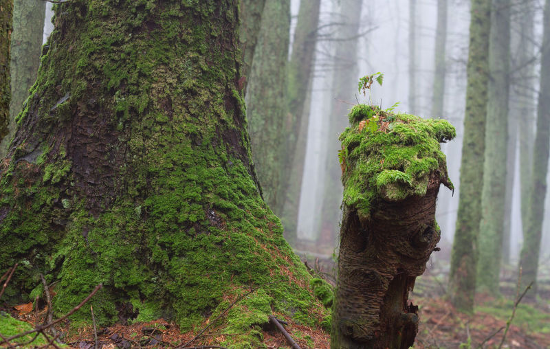 Forest Moss Tree Tree Trunk Tree Tree Trunk Forest Lush - Description Tree Area Leaf Close-up Plant Green Color Landscape Wooden Post