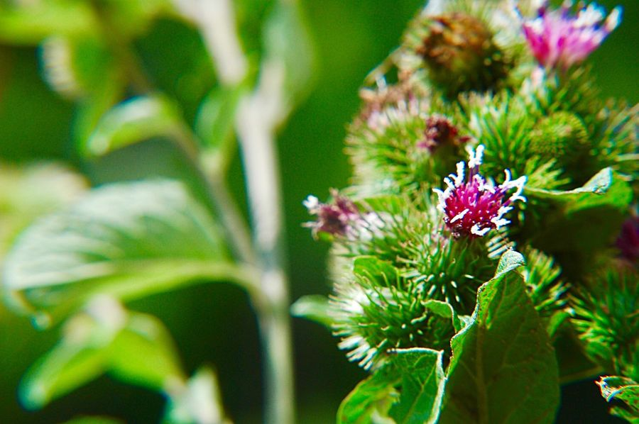 Greater Burdock Arctium Lappa Wildflower Blossom Outdoors Flowering Plant Flower Plant Freshness Beauty In Nature Fragility Growth Green Color Nature Close-up Focus On Foreground Leaf Pink Color Petal Plant Part Flower Head No People Day Vulnerability