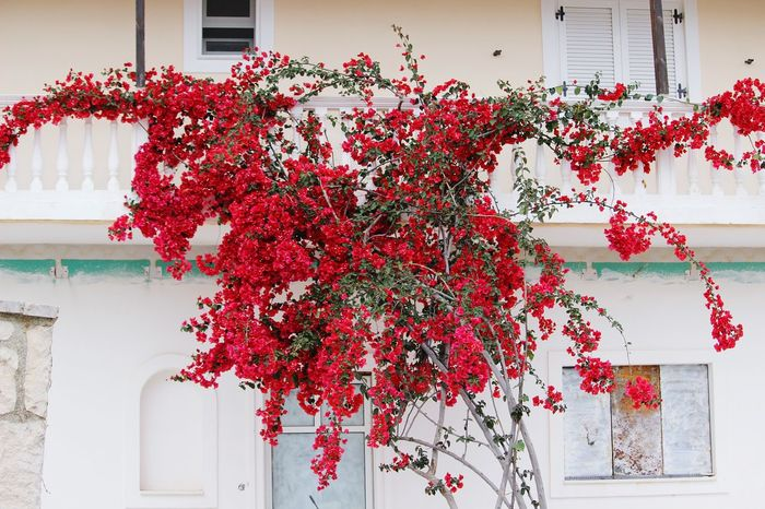 TakeoverContrast Flower House Red Pink Color Beauty In Nature Flowering Nature Contrast Paradise Travel Color Contrasts Zakynthos GREECE ♥♥ Greece Greecesummer Greece Islands Greece2016 Zakynthos Town Zakyntos Zakynthos,Greece Residential Building EyeEm Best Shots EyeEm Gallery