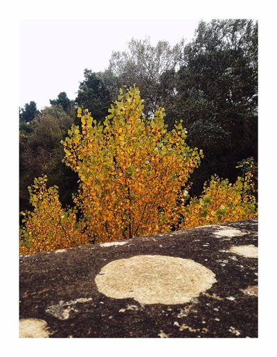 Fire tree Tree Autumn No People Outdoors Day Nature Yellow