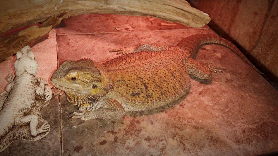 Edna Pogona Bearded Dragon Reptile Holding Non Viable Eggs... Fatty