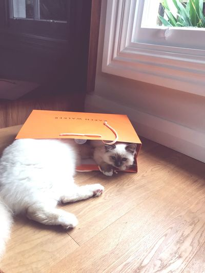 When we try to share our shopping Ragdoll Playful Shopping ♡ Love Karen Walker Kittens EyeEm Selects Domestic Pets Domestic Animals Mammal Animal Themes
