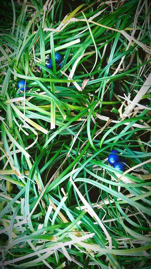 リュウノヒゲ 植物