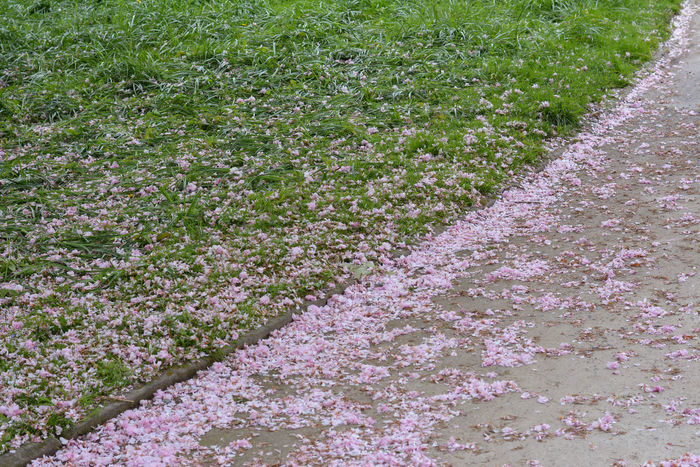 Backgrounds Day Full Frame Grass Green Color Growth Lines Lines And Shapes Nature No People Outdoors Path Petals Pink Pink Leaves Pink Petals Plant Tranquility Lawn Dividing Line Green Green And Pink Cherry Blossom Fallen Leaves Fallen Petals