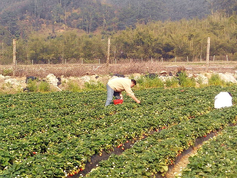 STRAWBERRY FARMS IN HUIZHOU Cool Weather Fun Fun Times Grass Green Color Nature Scenery Scenic View Strawberry Fields Strawberry Picking Strawberrys