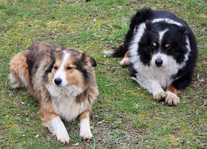 Domestic Pets Animal Themes Domestic Animals Animal Group Of Animals Grass Two Animals No People Vertebrate Field Land Portrait Plant Day Looking At Camera Border Collie Animal Family Togetherness