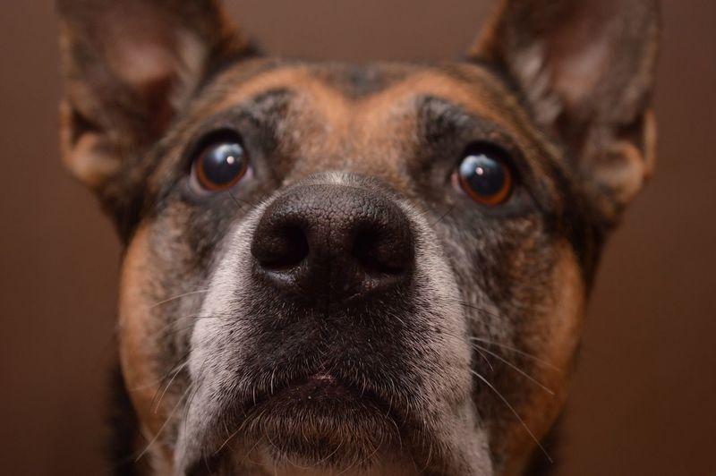 Dogface German