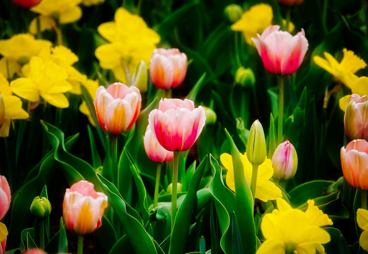 meadow flowers Flowering Plant Flower Plant Beauty In Nature Petal Flower Head Inflorescence Pink Color Tulip Yellow Field Leaf No People Flowerbed Outdoors Nature Plant Part Springtime Green Color Spring Flowers April Early Blooms