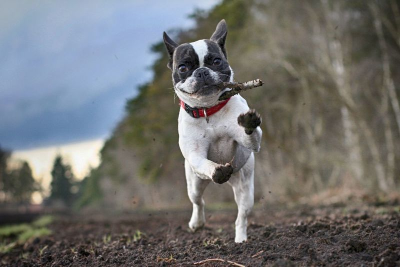 Dog Pets Domestic Animals Animal Themes Running One Animal Mammal Focus On Foreground Outdoors Day No People Nature Frenchbulldog Hund French Bulldog Französische Bulldogge  Pet Portraits Hunde Selective Focus Moorland Draußen Be. Ready. Moments Of Happiness