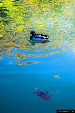 Título: Renoir Autor: Marcus Populus Lugar: Parque El Retiro (Madrid) Cámara: SAMSUNG NX1000 Punto F: f/5.6 Tiempo de exposición: 1/160s Velocidad ISO: 200 Distancia focal: 55mm Animal Themes Animals In The Wild Beauty In Nature Day Nature No People Water Waterfront
