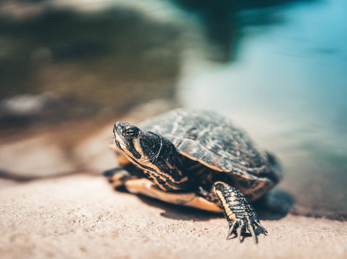 Close-up of water turtle on rock