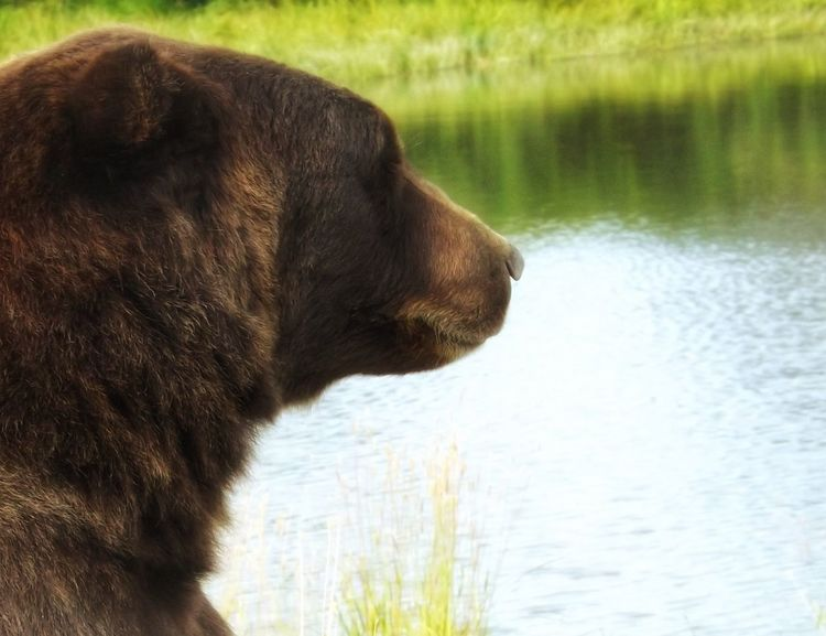 Nature Photography Risktaker Closeupshot Outdoor Photography Bear Brown Bear Alaska Bears Galore Outdoors Out In The Wilderness