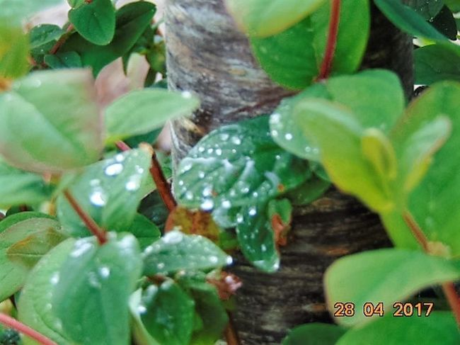 Leaf Plant Green Color No People Day Outdoors Freshness Cherry Tree Beauty In Nature St Agnes Leaves