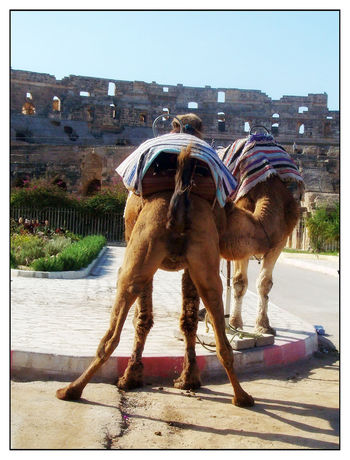 Camello El Djem Anfiteatro Camel Tunez قصر الجم