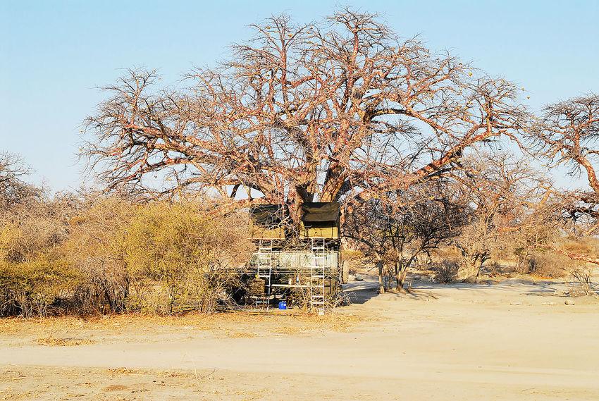 Baobab Tree in the savannah of Etosha National Park Adansonia Africa African Baobab Tree Baobab Baobab Tree Country Dolomite Etosha National Park Etosha Pan Galton Gate Mountains Namibia Okaukuejo Red-brown Earth Rock Desert Safari Sahara Salt Pan Savannah Semi-desert South Africa Waterholes