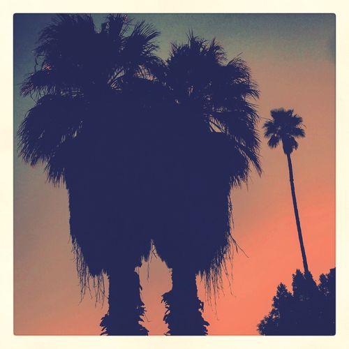 silhouettes Trees palms Palm Desert, CA morning
