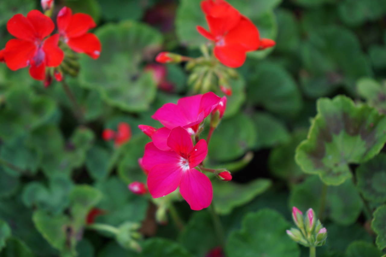vulnerability, fragility, flowering plant, flower, freshness, petal, plant, beauty in nature, growth, flower head, inflorescence, close-up, pink color, focus on foreground, green color, day, nature, no people, plant part, red, outdoors