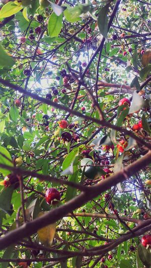 In Home Fruits Grumixama Colors Nature From Brasil Fruit Taking Photos Trees EyeEm Nature Lovers