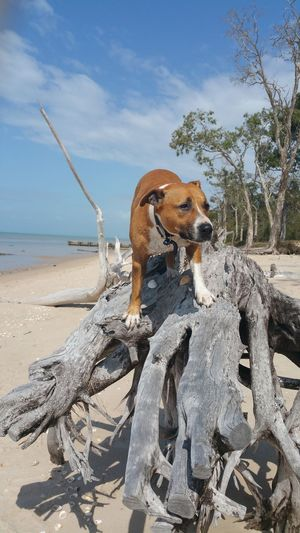 Staffy Dog At Beach Standing On Fallen Tree Log Dog Photography Pet Photography  Dogs Of EyeEm Dogslife Dog Love Dog❤ Beach Sea Tree Log Staffy EyeEm Selects Beach Animal Water Land Sea Nature Animal Themes Sky No People Mammal Animal Representation Day Sand Tree