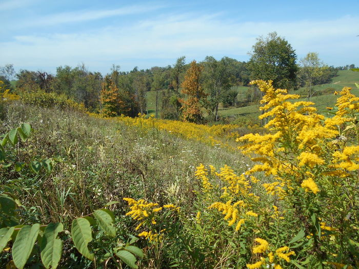 """""""A Sea of Golden Yellow"""" -- Solidago Fireworks Goldenrod Wildflowers in Full Bloom Country Landscape Fireworks Goldenrod Goldenrod Flower Happy Yellow Month Of September North American Native Wildflowers Ohio, USA Paint The Town Yellow Smithfield, OH Solidago Fireworks Goldenrod Susan A. Case Sabir Unretouched Photography A Sea Of Golden Yellow Beauty In Nature Beginning Of Autumn Counryside Farming Region Goldenrod In Full Bloom Out In The Field Rural Scene Small Village Solidago Yellow Yellow Color"""