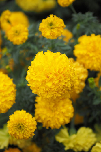 Marigold Flower Flowering Plant Yellow Plant Vulnerability  Fragility Beauty In Nature Flower Head Freshness Inflorescence Close-up Petal Growth Day Nature Selective Focus Outdoors