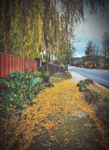 """""""Follow The Yellow Leaf Road"""" A sidewalk is paved in yellow leaves from an overhanging willow tree yielding to Fall's proclamation in a suburban Northern California neighborhood. City Streets  Willow Willow Tree Autumn Collection Autumn Fall Colors Fall Beauty Autumn colors Fall Leaves Autumn Leaves California Nature No People Day Outdoors Autumn Falling"""