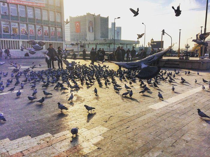 Guvercin Art Sanat Pigeon Ankara Turkey