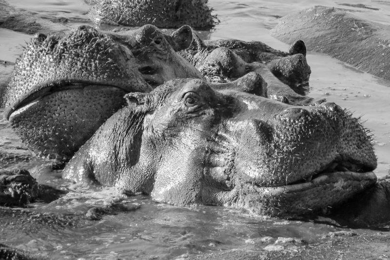 Close-Up Of Hippopotamuses In Lake