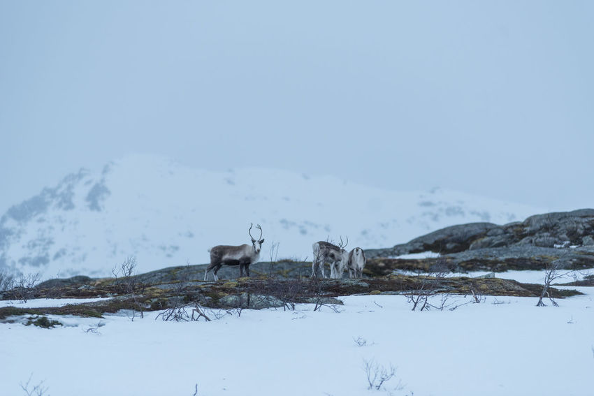 Rudolph and friends Norway Reindeer Animal Themes Animal Wildlife Animals In The Wild Beauty In Nature Cold Temperature Day Domestic Animals Field Landscape Livestock Mammal Mountain Mountain Range Nature No People One Animal Outdoors Scenics Sky Snow Snowcapped Mountain Standing Winter