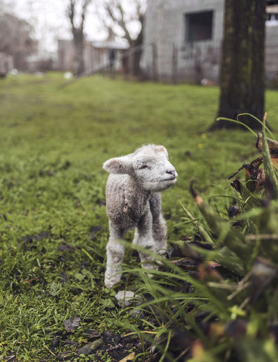 Little Lamb Baby Growth Lamb Life Winter Animal Animal Themes Day Domestic Domestic Animals Field Grass Green Color Land Mammal Nature Newborn Offspring One Animal Outdoors Pets Plant Selective Focus Standing Vertebrate