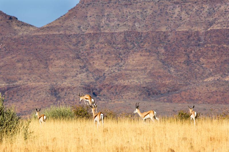Rare view of herd of gazelles