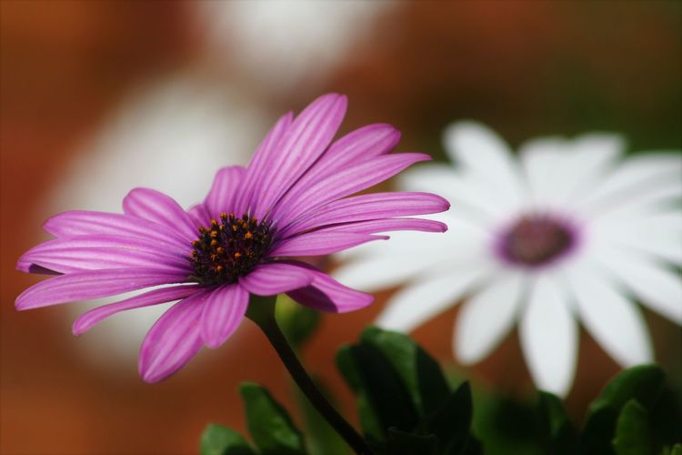 Flowering Plant Flower Freshness Plant Fragility Vulnerability  Petal Beauty In Nature Inflorescence Flower Head Close-up Growth Pink Color No People Nature Focus On Foreground Purple Osteospermum Pollen Selective Focus