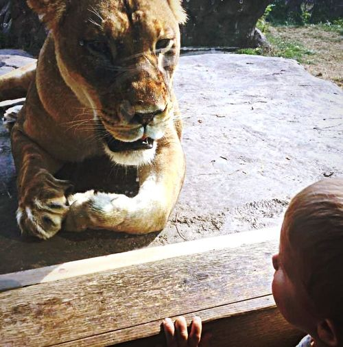 No fear Zoo Lion One Animal Day Mammal Outdoors Human Body Part Animals In The Wild Leisure Activity One Person Animal Wildlife Real People Nature Close-up Domestic Animals People